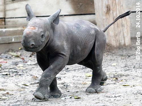 Nashorn-Baby #2