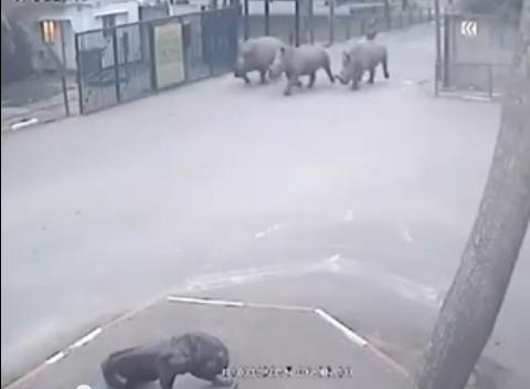 Rhinos-Trio